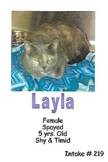 Domestic Shorthair Cat for adoption in Fort Scott, Kansas - Layla