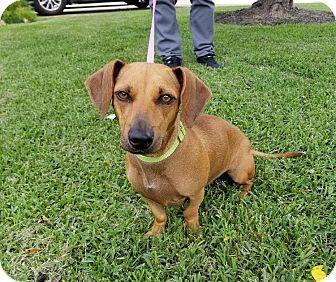Dachshund Mix Dog for adoption in Houston, Texas - Daisy