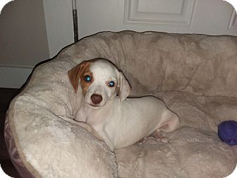 Rat Terrier/Beagle Mix Puppy for adoption in Coats, North Carolina - Chester