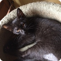 Adopt A Pet :: ELvis Catsley - Indianapolis, IN