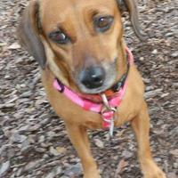 Adopt A Pet :: Poppie - Umatilla, FL