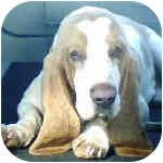 Basset Hound Dog for adoption in Phoenix, Arizona - Jack