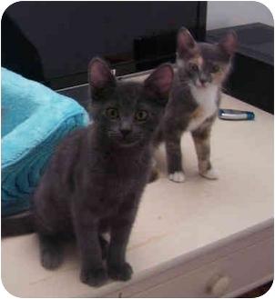 Domestic Shorthair Kitten for adoption in Okotoks, Alberta - Rex