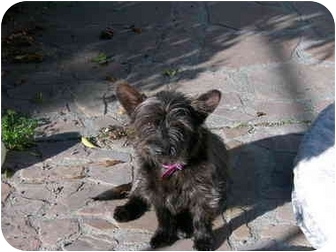Cairn Terrier/Norwich Terrier Mix Dog for adoption in Castro Valley, California - Katie