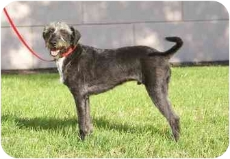 Schnauzer (Standard)/Terrier (Unknown Type, Medium) Mix Dog for adoption in Houston, Texas - Joshua