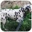 Photo 3 - Dalmatian Dog for adoption in Mandeville Canyon, California - Gemma