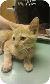 Domestic Shorthair Kitten for adoption in Oklahoma City, Oklahoma - Daniel