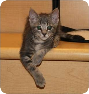 Domestic Shorthair Kitten for adoption in Nolensville, Tennessee - Max