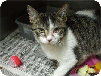Domestic Shorthair Kitten for adoption in Edwardsville, Illinois - Bart