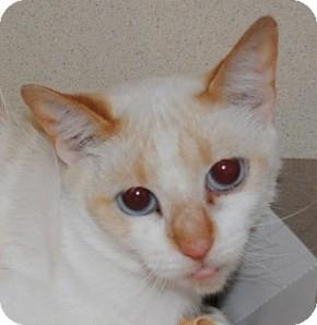 Siamese Cat for adoption in Chesapeake, Virginia - Asha
