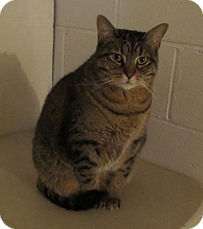 Domestic Shorthair Cat for adoption in Geneseo, Illinois - Sammie