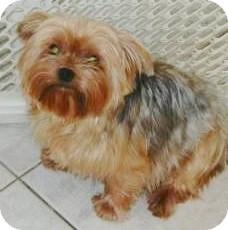 Yorkie, Yorkshire Terrier Dog for adoption in Orange, California - Sky