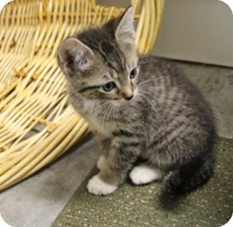 Domestic Shorthair Kitten for adoption in Tampa, Florida - Leonidas