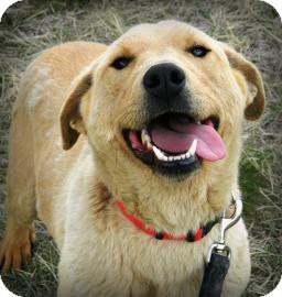 Siberian Husky/Shar Pei Mix Dog for adoption in Cheyenne, Wyoming - Celeste