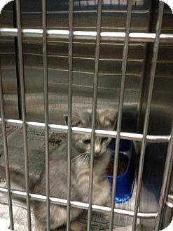 Domestic Shorthair Kitten for adoption in MARION, Virginia - June