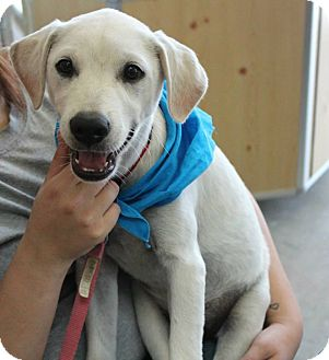 Labrador Retriever Puppy for adoption in Somers, Connecticut - Shiver - ADOPTION PENDING