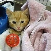 Adopt A Pet :: Polydactyl Kitten!! - Washington Terrace, UT