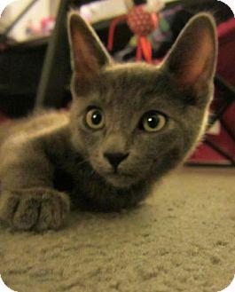 Domestic Shorthair Kitten for adoption in Anza, California - Smokey