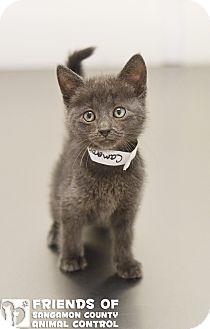 American Shorthair Kitten for adoption in Springfield, Illinois - Cameron