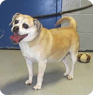 Pug Mix Dog for adoption in Elizabeth, New Jersey - Mr. Puggles