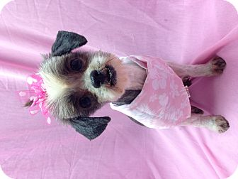 Shih Tzu Dog for adoption in Winchester, Kentucky - Little Lucy