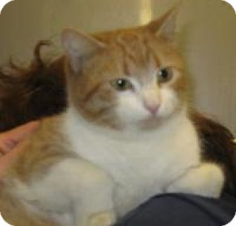 Domestic Shorthair Cat for adoption in Mineral, Virginia - Roquefort