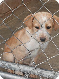 Beagle/Labrador Retriever Mix Puppy for adoption in Falls Mills, Virginia - Mitzi