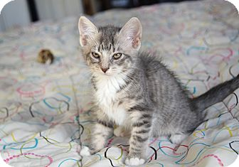 Domestic Shorthair Kitten for adoption in Brooklyn, New York - Magara