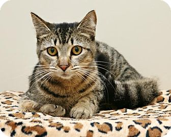 Domestic Shorthair Cat for adoption in Bellingham, Washington - Sophie