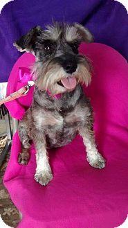 Schnauzer (Standard) Mix Dog for adoption in Pasadena, California - PETUNIA