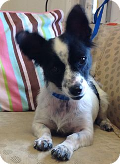 Jack Russell Terrier/Chihuahua Mix Dog for adoption in Phoenix, Arizona - Oreo