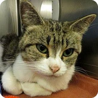 Domestic Shorthair Cat for adoption in Janesville, Wisconsin - Sweet Pea