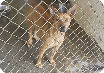 Shepherd (Unknown Type)/Labrador Retriever Mix Puppy for adoption in Bishopville, South Carolina - Maddie