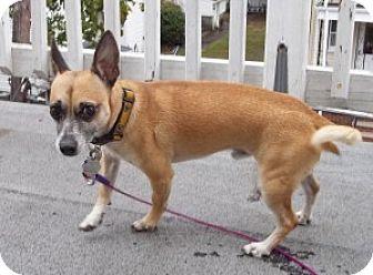 Chihuahua/Miniature Pinscher Mix Dog for adoption in Medford, Massachusetts - Luke