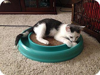 Domestic Shorthair Kitten for adoption in Ogallala, Nebraska - Ryder