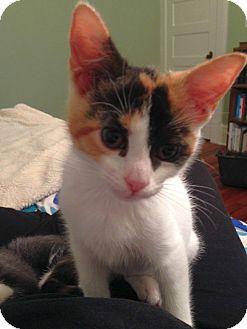 Domestic Shorthair Kitten for adoption in Chattanooga, Tennessee - Loretta