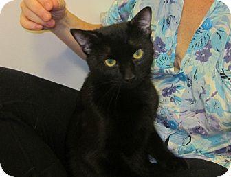 Bombay Cat for adoption in New York, New York - Dooley-Bombay Cutie'11