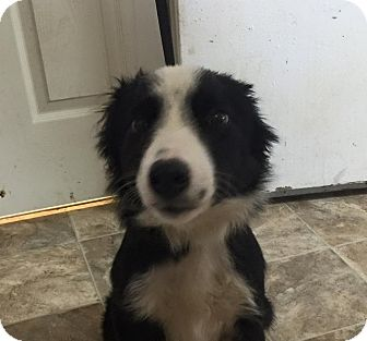 Border Collie Puppy for adoption in Lewisburg, Tennessee - Icicle
