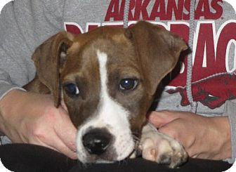 Boxer/Beagle Mix Puppy for adoption in Salem, New Hampshire - Little Mack