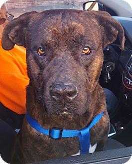 Mastiff/American Pit Bull Terrier Mix Dog for adoption in Allentown, Pennsylvania - Ralph