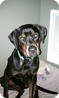 Doberman Pinscher/Pit Bull Terrier Mix Dog for adoption in Dover, Tennessee - Paco