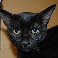 Adopt A Pet :: Sheba - Whittier, CA