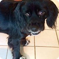 Adopt A Pet :: Darcy - Sugarland, TX