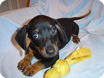 Dachshund Puppy for adoption in Texarkana, Texas - Chip ADOPTED TX