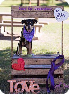Shepherd (Unknown Type)/Rottweiler Mix Puppy for adoption in DeForest, Wisconsin - Rocky