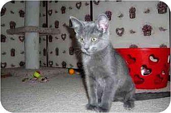 Domestic Shorthair Kitten for adoption in Vacaville, California - Sarabi