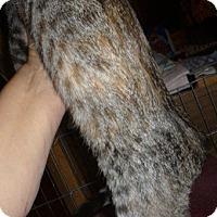 Adopt A Pet :: Amber - Dallas, TX