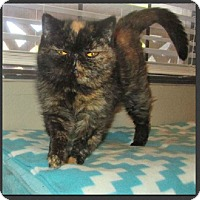Adopt A Pet :: Jitterbug - Gilbert, AZ