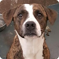 Terrier (Unknown Type, Medium)/Boxer Mix Dog for adoption in Fort Smith, Arkansas - Baby