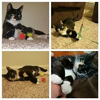 Domestic Shorthair Cat for adoption in Tampa, Florida - Petunia the Cat*